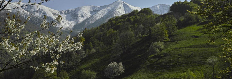 Ciliegi in fiore a Forno